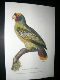 Shaw C1800's Antique Hand Col Bird Print. Brazilian Green Parrot